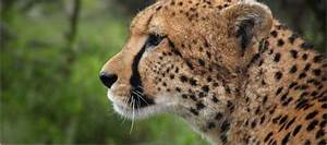 Action For Cheetahs In Kenya  Ack