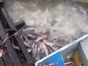 Watch school of hungry Amazonian piranhas make chunks of ...