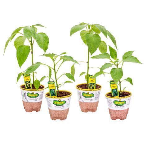 shop bonnie 25 oz jalapeno pepper banana pepper plant at lowes com