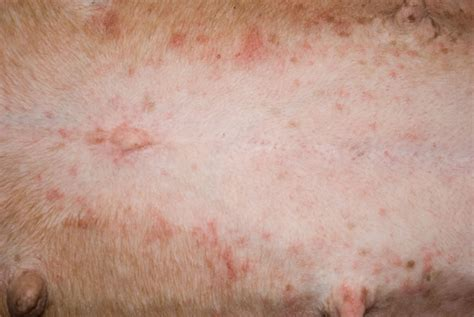 flohbissallergie ursachen symptome bilder flohbisse