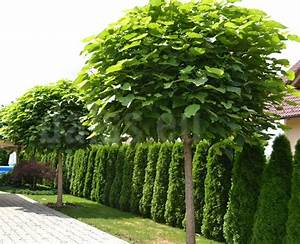 Catalpa Bignonioides Nana : best 25 catalpa bignonioides nana ideas on pinterest ~ Michelbontemps.com Haus und Dekorationen