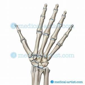 Hand Skeleton Diagram