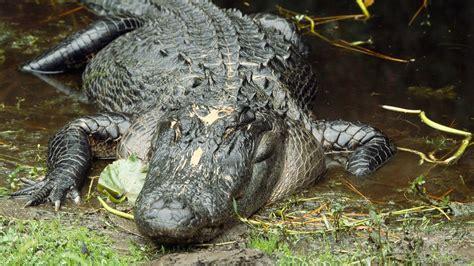 aligator cuisine alligator