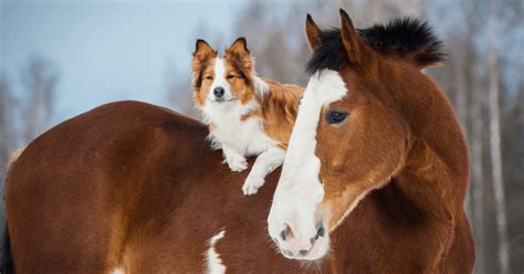 horse collie border dog clydesdale horses draft than dogs foal smarter animal merle girthy genetics psychic beatrix medium buying viktoria