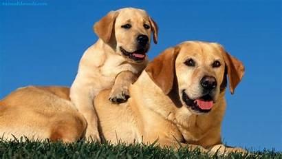 Labrador Retriever Puppies Breeds Animals Dog Lab