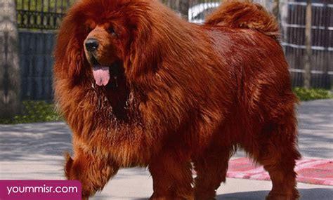 top   dangerous dog attack breeds youm misr
