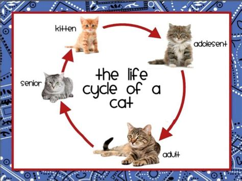lifespan of a cat chicken and cat life cycle for upload