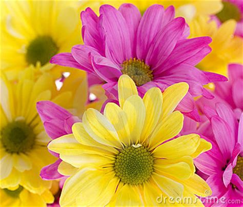 background yellow  pink daisy flowers royalty