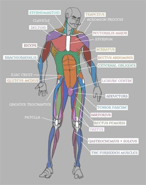 With the help of a diagram in this article, let us understand the function of this system, and the organs that constitute it. Muscle Anatomy Chart Luxury Human Anatomy Muscles with ...