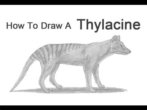 draw  tasmanian tiger thylacine youtube