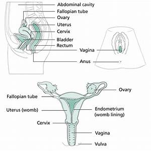 Basic Anatomy The Vagina