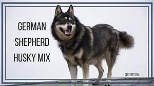 German Shepherd Husky Mix: The True Alpha | CertaPet