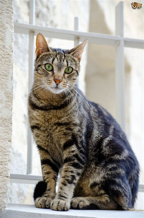 tabby cat colour and pattern genetics pets4homes