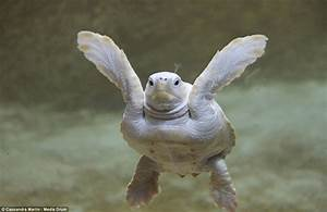 Turtlely all white: Baby albino nick-named Alba by zoo ...