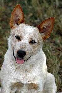 Big smile | Red Heelers | Pinterest | Smile