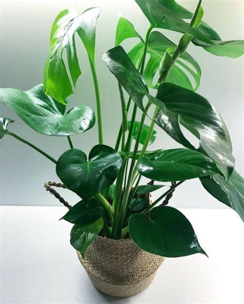 Pflanze Mit Großen Blättern