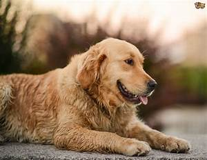 Golden Red River : golden retrievers and obesity issues pets4homes ~ Orissabook.com Haus und Dekorationen