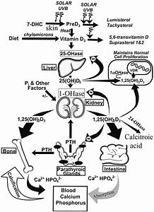 Schematic Diagram Of Cutaneous Production Of Vitamin D And Its Metabolism And Regulation For