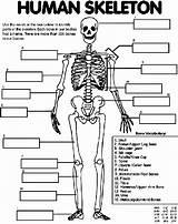 Skeleton Human Coloring Pages Parts Bank Word Crayola Identify Below sketch template