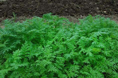 quand planter engrais vert