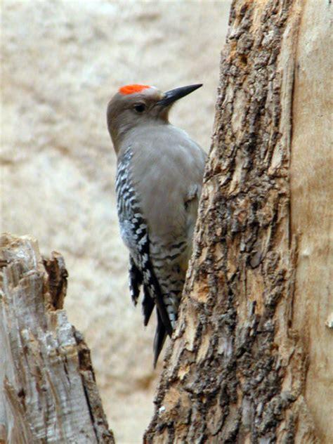 gila woodpecker utahs hogle zoo