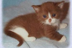 munchkin long hair kittens for sale in westchester ny With what kind of paint to use on kitchen cabinets for tiffany and co crystal candle holders