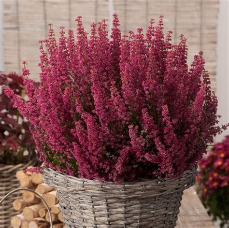 erica fiore winter hanging baskets