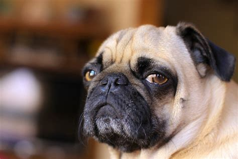 Annoyed Dog Meme - annoyed dog face www pixshark com images galleries with a bite