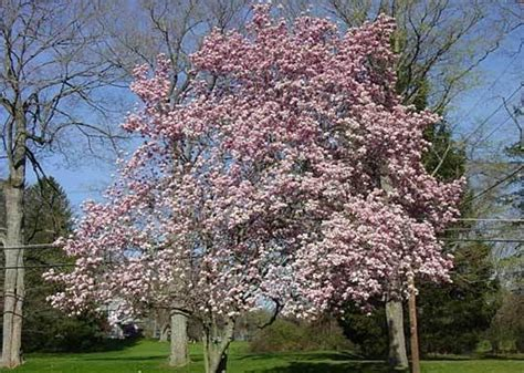 ornamental magnolia tree ornamental trees precision landscape management landscaping