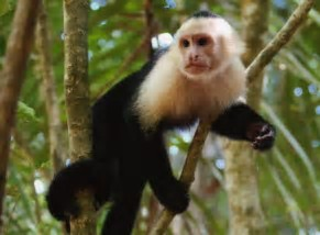 Image result for capuchin monkey images