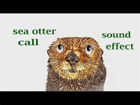 sea otter call sound effect animation
