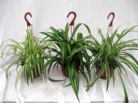 variegated spider plant hawaiian spider plant reverse