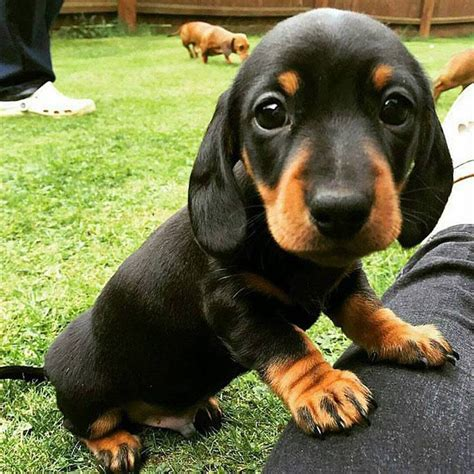 Datsun Puppies by 10 Reasons Why Dachshunds Are The Masters Of Getting Into