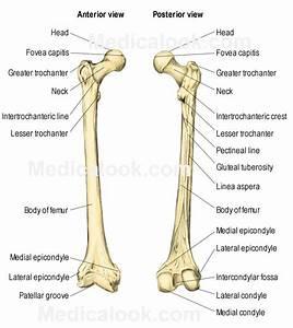 Upper Leg Bone Anatomy