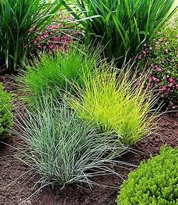 Tropische Pflanzen Kaufen : gr ser trio 1a pflanzen kaufen gr ser pflanzen bodendecker und gr ser im garten ~ Watch28wear.com Haus und Dekorationen