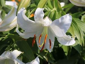 Zimmerpflanze Weiße Blüten : lilie 39 casablanca 39 lilium x cultorum 39 casablanca 39 baumschule horstmann ~ Markanthonyermac.com Haus und Dekorationen
