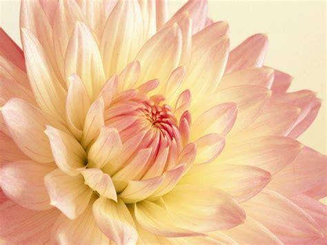 flower background wallpaper desktop wallpapers