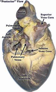 Pig Heart Diagram Labeled   Biological Science Picture