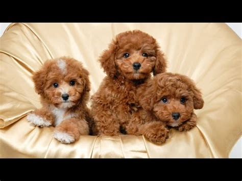 top  teacup dogscute dogs small dogs youtube
