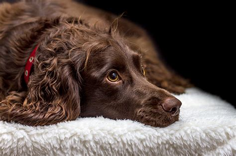 do boykin spaniel dogs shed image gallery spaniel breeds