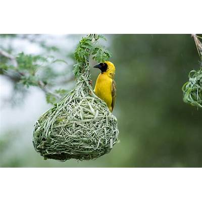 Amazing Nests Built by African BirdsThe Exponent