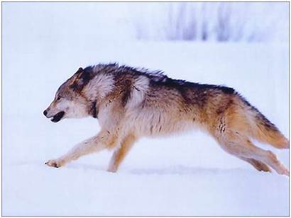 Wolf Spirit Dream Symbolism Animals Messages Animal