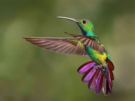 Hummingbird Tropical Birds