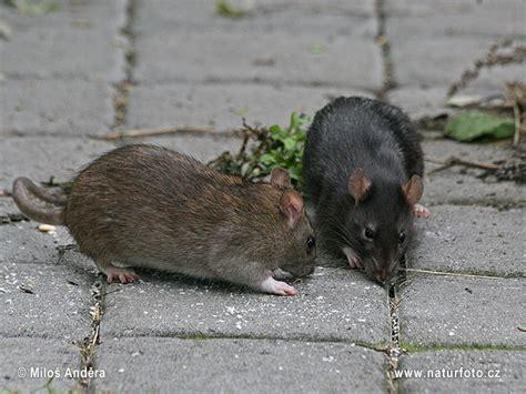 rattus rattus pictures black rat brown  black form