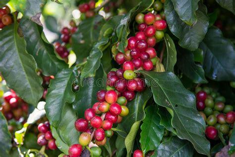 We inspire people to plant, nurture, and celebrate trees. Unripe Coffee Beans On Tree Stock Image - Image of food, leaf: 35935485