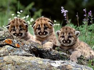 Mountain Lion Cubs Wallpaper Baby Animals Animals ...