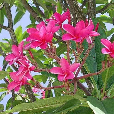 artificial bonsai tree plumeria rubra 39 pink parfait 39 mybageecha