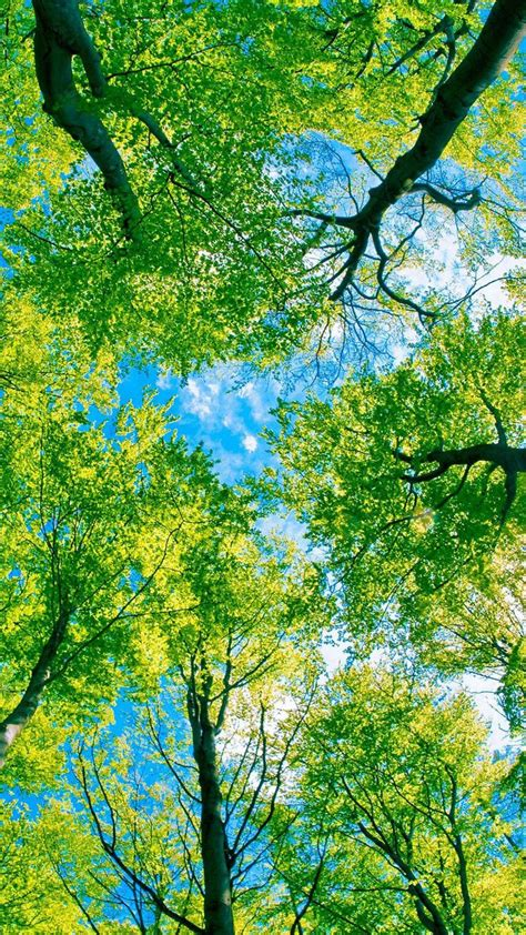 Green Tree Hd Wallpaper by Looking Up At Green Trees Wallpaper Hd Wallpaper Nature