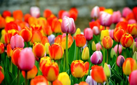 Tulip Image Desktop by Tulips Wallpapers Images Photos Pictures Backgrounds
