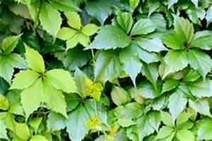 Wilder Wein Vermehren : wilder wein eine pergola bepflanzen ~ Orissabook.com Haus und Dekorationen